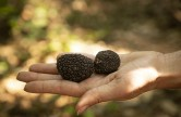 the secrets of the truffle